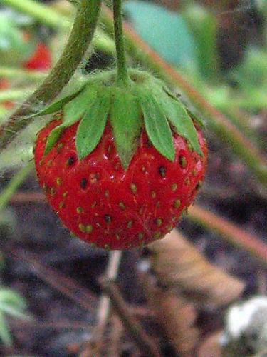 ©Lindsay Obermeyer strawberry