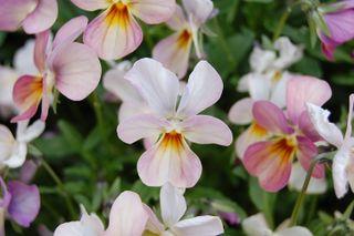 ©Lindsay Obermeyer pale violets