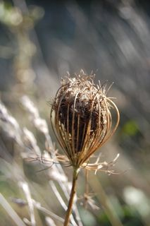 ©2009 Lindsay Obermeyer seed head