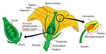423px-Mature_flower_diagram.svg