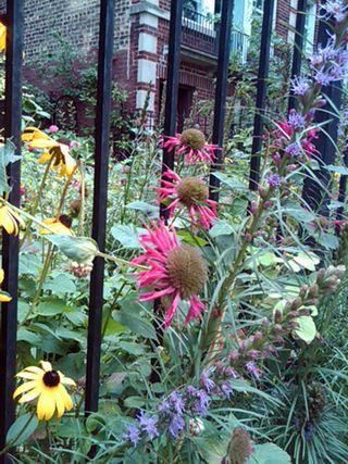 ©2011 Lindsay Obermeyer purple cone flowers and black eyed susans