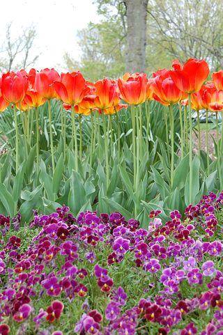 ©2012 Lindsay Obermeyer tulips and violets