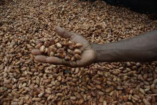 Medium_close_up_image_of_David_Kebu_Jnr_holding_cocoa_beans_drying_in_the_sun-1._(10703178735)
