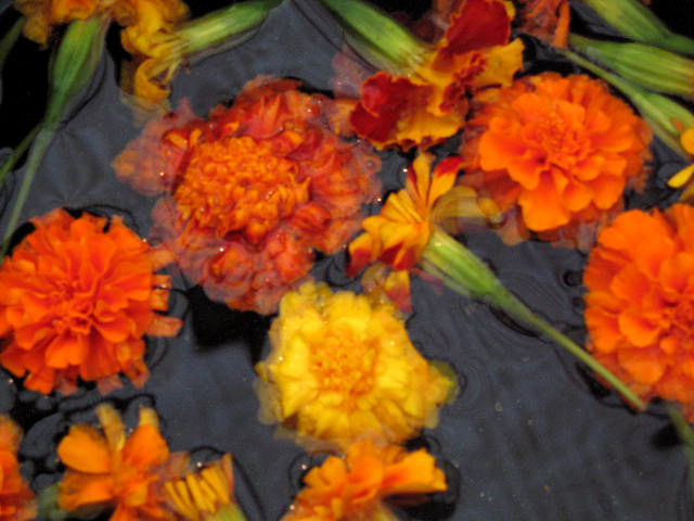 C_lindsay_obermeyer_dye_marigolds
