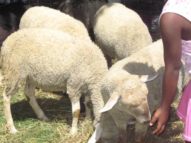 C_lindsay_obermeyer_sheep