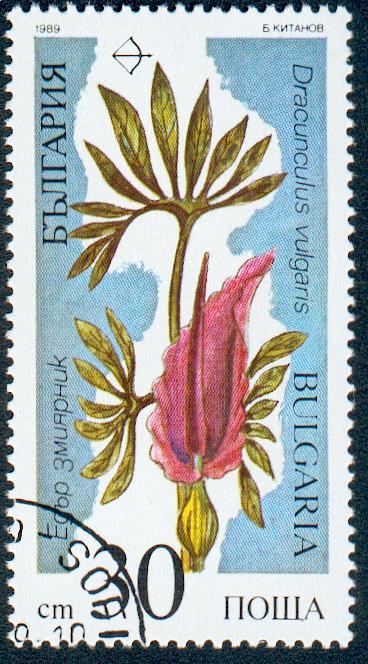 Dracunculus_vulgaris_bulgaria